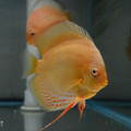 "5""-6"" Albino Pearl Golden Diamond Discus"