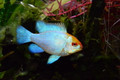 "1.5"" Gold Head Electric Blue Ram"