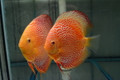 Albino Leopard Snakeskin Discus Possible Pair