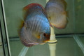 Giant Blue Altum Snakeskin Discus Possible Pair