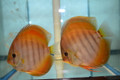 Yellow Red Cover Discus Possible Pair
