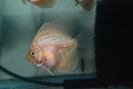 "4 Pack of 1.5"" Albino Discus Fry (2 Albino Leopard & 2 Albino Leopard Snakeskin)"