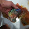 """4.5""""-5.5"""" Face Spotted Ring Leopard Discus"""