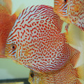 "5""-5.5"" Face Spotted Ring Leopard Discus"