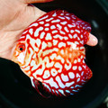 """5""""-5.5"""" Red Eagle Discus"""