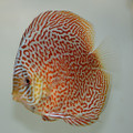 "5"" Ring Eruption Leopard Discus"