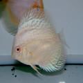 """4"""" Albino Cobalt  Discus"""