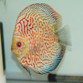 "5.5"" High Body Red Map Discus (Local Raised)"