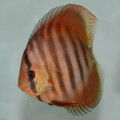 "4.5""  Rose Red Discus"