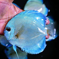 "5""-5.5"" Deep Blue Gene Blue Diamond Discus (Regular Grade)"
