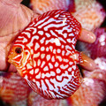 "4.5""-5"" Red Eagle Discus (from breeder Martin Ng)"