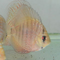 "3"" Dr. Teo Heckel x Red Turquoise Discus (Local Raised)"