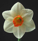 Intermediate Daffodils on CD
