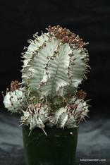 """Euphorbia """"Wundulate"""""""