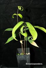 Ceratozamia hildae