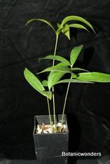 Ceratozamia robusta