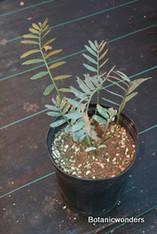 "Encephalartos arenarius ""Blue"""