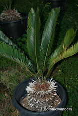 Cycas taitungensis