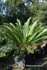Cycas taitungensis 24b
