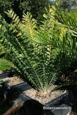 Encephalartos ferox 24b 1