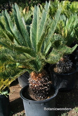 Cycas taitungensis 20g