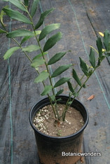 Encephalartos ferox 5g 0