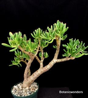 crassula ovata gollum botanic wonders. Black Bedroom Furniture Sets. Home Design Ideas