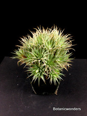 """Abromeitiella brevifolia 2.5"""" pot"""