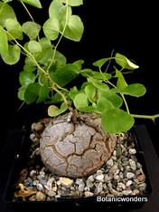 Dioscorea elephantipes dioe003