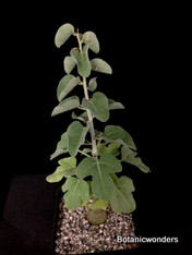 "Adenia spinosa, 3.5"" pot, Very rare seedling!"