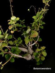 """Plectranthus ernstii 3.5"""" pot, Nice old specimen!"""