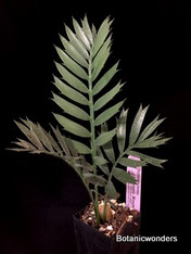 Encephalartos horridus, band pot, Extra Large!!!!