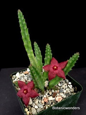 "Stapelia scitula 3.5"" pot, mini species with pretty red flowers!"
