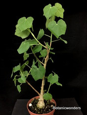 "Sterculia rogersii, 6"" pot, Great for bonsai!"