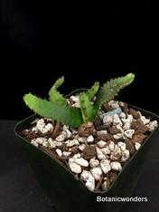 "Euphorbia stellata, 3.5"" pot, nice seedlings"
