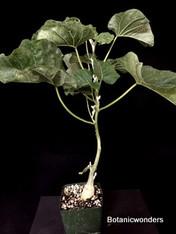 """Ipomoea albivenia, 3.5"""" pot, Forms caudex!"""