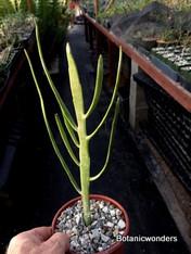"Euphorbia xylohylloides, 4"" pot"