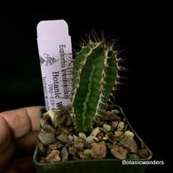 "Euphorbia avasmontana, 3"" pot"