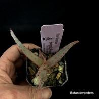 "Aloe tulearensis, 3"" pot"