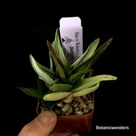 "Aloe 'Walmsley's Bronze"" varigated, 3"" pot"