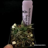 """Aloe descoinsii sp descoinsii, 3"""" pot"""