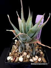 "Aloe deltoidendonta var. candicans, 4"" pot"