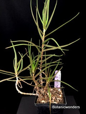 "Aloe cillaris var. tidmarshii, 4"""