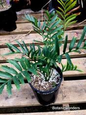 Encephalartos arenarius, 1 gallon