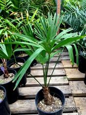 Trachycarpus wagnerianus, 1 gallon, Super Big!