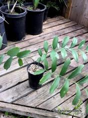 Encephalartos ferox, 1 gallon
