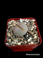 """Dinteranthus wilmotianus, 2"""" pot"""