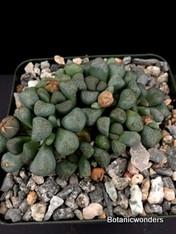 Aloinopsis, schooneesii, 3.5' pot