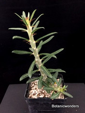 "Pachypodium bispinosum, 4"" pot , Super large!"