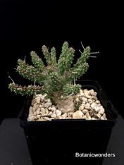 "Euphorbia gamkensis, 4"" pot, Large plant! Super rare!"